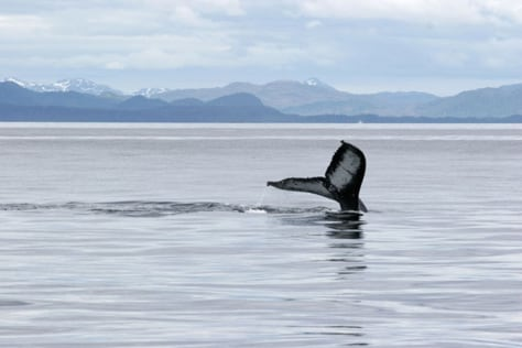 Image: Humpback whale